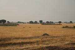 Oeganda-waterbokken (Inklaar) Tags: africa summer zomer antelope afrika savannah uganda antilope savanna kobus ugandankob kob waterbok savanne queenelizabethnationalpark oeganda 2013 westernregion waterbokken kobuskob kobuskobthomasi p7700 nikonp7700 inklaar:see=all busongora oegandawaterbok