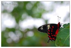 Spirit (S@RG@M) Tags: red india black beautiful forest butterfly bokeh spirit unique bangalore pollution nectar karnataka sucker ecosystem banerghatta nikond7000 sargamjain ragihallistateforest