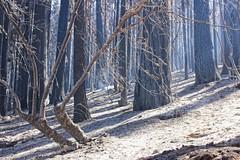 Rim Fire Aftermath (sjrankin) Tags: california trees northerncalifornia forest aftermath edited yosemite ash yosemitenationalpark smoky processed burned usfs ashen unitedstatesforestservice mikemcmillan tonalcontrast creditmikemcmillanusfs 16september2013 ashenforrest