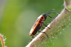 DSC_0189b (kempf_paul) Tags: macro nikon insects papillon tamron flou insectes petit libellule tamron90mm macrophotographie collembole d5200 nikond5200