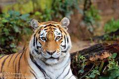 Siberische tijger - Panthera tigris altaica - Siberian Tiger (MrTDiddy) Tags: cat mammal zoo big kat tiger bigcat antwerp siberian tijger tigris antwerpen zooantwerpen grote panthera altaica zoogdier yessie grotekat siberische