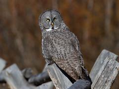 Great Gray Owl (laura's Point of View) Tags: autumn bird nature fence wildlife owl wyoming greatgrayowl grandtetonnationalpark lauraspointofview lauraspov