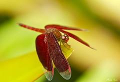 How.... (Anna Kwa) Tags: macro art nature singapore dragonfly botanicalgarden libellulidae neurothemisterminata redwingeddragonfly