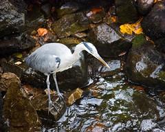 Grey Heron 3 (Annette S Thomson) Tags: bird heron nature grey scotland aberdeenshire wildlife fallsoffeugh