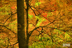 2013-10-29 712 Autumn in Indiana - Stained Glass (Badger 23 / jezevec) Tags: trees tree forest log timber boom albero arbre strom baum puno trd drzewo rbol rvore