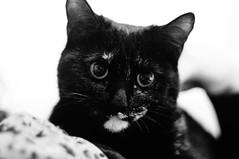 Autobahn (JBB | MK00) Tags: china portrait bw pet white black classic animal digital cat lens 50mm shanghai sony autobahn summicron f2 manual nex gseb nex5n