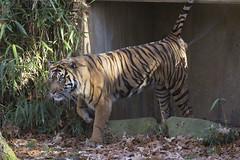 Smithsonian National Zoo Sumatran Tiger  (713) (smata2) Tags: zoo washingtondc smithsonian dc tiger tigre nationscapital smithsoniannationalzoo greatcats itsazoooutthere zoosofnorthamerica flickrbigcats