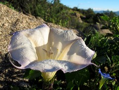 Dewy Datura (zoniedude1) Tags: white newmexico southwest detail macro nature toxic beauty closeup outdoors dangerous flora native adventu