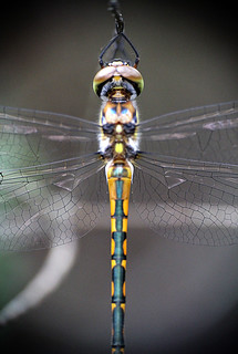 Symmetry in a damselfly - explored