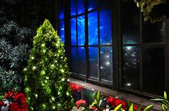 Longwood Window (Daveyal_photostream) Tags: flowers blue windows holiday reflection window nature beautiful beauty lights lowlight nikon poinsettia christmastree best christmaslights dew longwoodgardens windowpane redflowers flowerbud d600 nikor buddingflower slicesoftime