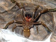 Female Phlogius Strenuus In defense pose. (Matt_c17) Tags: female river pose t spider scary australian australia tarantula angry hann aussie aus defense defence theraphosidae strenuus phlogius pstrenuus