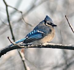 Blue jay (carpingdiem) Tags: birds indianapolis bluejay