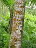 Trentepohlia sp. 1 (fredbrooks2013) Tags: americansamoa chlorophyta trentepohlia commensalism trentepohliales cephaleuros