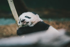 IMG_3592 (SwiftTheFox) Tags: atlanta baby animal animals canon georgia zoo cub panda ii 5d giantpanda mk zooatlanta pandas pandabear 135mm babypanda babypandas 135mmf2l canonef135mmf2lusm 135mmf2 canon5dmkii 5dmarkii 5dmkii 5dmk2 canon5dmarkii