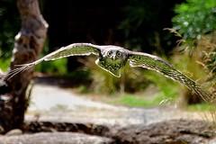 Barking Owl (mestevie) Tags: birds wings flight australia melbourne victoria owl prey predator wingspan barkingowl ninoxconnivens elafauna