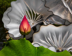 Lotus Bulb and Chihuly Glass (1mpl) Tags: canon flora texas waterlily lotus dallasarboretum dallastx chihulyglassart