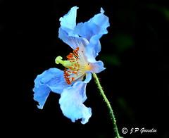 REFORD GARDENS   |      EMBLEM  |   |     BLUE POPPY   |  PAVOT BLEU          |     REFORD GARDENS  |      LES JARDINS DE METIS  |  METIS   |  GASPESIE  |  QUEBEC  |  CANADA (J.P. Gosselin) Tags: ph:camera=canon reford gardens | emblem blue poppy pavot bleu les jardins de metis gaspesie quebec canada canon eos rebel t2i canon7dmarkii 7dmarkii 7d markii mark ii canoneosrebelt2i canoneos7d canon7d eos7d canoneos