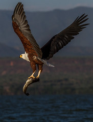 Schreiseeadler, Lake Baringo (UZiBerlin) Tags: kenya kenia fisheagle lakebaringo schreiseeadler