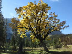 Kleiner Ahornboden Almboden Karwendel Gebirge Alps Alpen Tirol (hn.) Tags: autumn trees copyright mountain mountains alps tree fall nature berg field grass backlight forest contraluz austria tirol sterreich maple weide heiconeumeyer europa europe laub herbst natur feld meadow wiese eu autumnleaves september berge alpine pasture acer gras mapletree thealps alpen wald bume baum hdr tyrol kleiner gegenlicht herbstlaub gebirge karwendel mountainrange copyrighted bergig mountainous acerpseudoplatanus ahorn autumnleaf ahornboden tyrolia karwendelgebirge bergahorn hdrseries almboden hdrserie vision:mountain=0588 vision:outdoor=0929 vision:sky=0519 vision:plant=0962