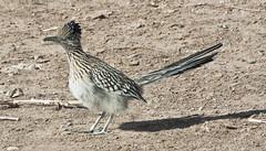 Morning Pose -- Greater Roadrunner (Geococcyx californianus); Albuquerque, NM, Los Poblanos Open Space [Lou Feltz] (deserttoad) Tags: shadow newmexico bird nature field desert cuckoo roadrunner refuge wildbird