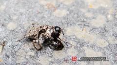 Salticidae () Tags: animal spider beijing   salticidae  baihuashan