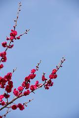 DSC_7236.jpg  (m3411) Tags: flowers blue red sky  70200mm   japaneseapricot d600 umeblossoms umetree originalphotography