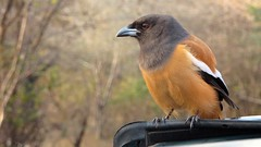 Rufous treepie, Ranthambhore National Park, India (Mandala Travel) Tags: nature birds wildlife indian safari birdlife ranthambhore linnut treepie intia rantambhore mandalatravel