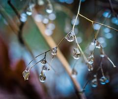 Rain Drops (Don White (Burnaby) Thanks for the Three Million V) Tags: macro bokeh centralpark drop drip flowersplants upperpond sel30m35