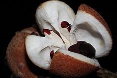 Dysoxylum parasiticum (andreas lambrianides) Tags: dysoxylumparasiticum meliaceae meliaparasitica epicharisschiffner yellowmahogany australianflora australiannativeplants australianrainforests australianrainforestplants qrfp cyrfp arfp arffs brownarffs