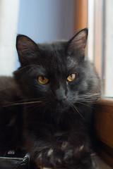 Conan (Zuncra*) Tags: conan cat gatito gato gatonegro mew animal felino blackcat asturias pro1hoya hoya hoyapro1digitalfiltrer