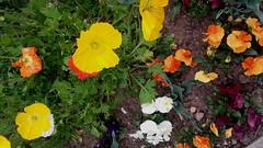 """Des Pensées et des Soleils pour votre Week End . (♥charlyzamour♥ """" vous remercie pour vos visite) Tags: fleurs pensees pavots france"""