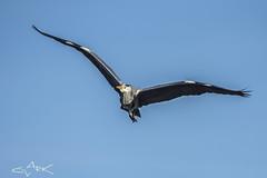 grey heron (Mike Clark 100) Tags: grey heron mike clark bird flight scotland wildlife