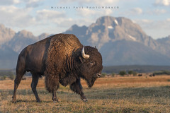 Híŋhaŋni Wašté - (Good Morning) (facebook.com/michaelpaulphotoworks) Tags: bison buffalo mountain wildlife landscape wyoming tetons morning sunrise bluesky freedom wildwest grandtetonnationalpark