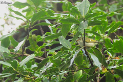 IMG_7394_DS (Ganugapenta NaveenKumar Reddy) Tags: northeast northeastindia mishmihills canon7d disnapper guyonblackybx gnaveenkumarreddy ganugapentanaveenkumarreddy gnr ganugapenta