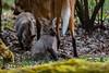 20170402-Mähnenwolf, Tiergarten Nürnberg-026.jpg (serpentes80) Tags: mähnenwolf tiere tiergartennürnberg