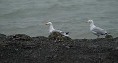 Mantelmeeuw (jeannette.dejong) Tags: zeeland mantelmeeuw grijs wit geel rood zwart ngc naturelovers nederland