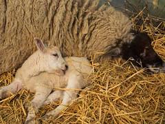 Lambing time - just Ewe & me (fstop186) Tags: lambingtime lambs ewe sheep pen straw sleeping resting colostrum spring