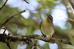 8878 Philadelphia Vireo (Vireo philadelphicus) (andykjordan) Tags: philadelphiavireo vireophiladelphicus smith oaks texas bird
