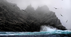Gannets in the Mist (whidom88) Tags: skelllig island ireland gannets rough sea