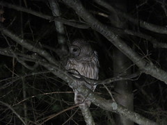 Barred Owl In The Tree By My Parking Place (amyboemig) Tags: barred owl spring night headlights tree