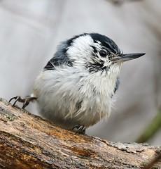 That rainy day - White-breasted Nuthatch (Jeannine St. Amour) Tags: bird nuthatch whitebreastednuthatch nature wildlife rain spring ottawa