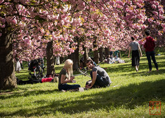 WCP-187.jpg (World Citizen Pix) Tags: flower hanami cerisier sakura rose pink couple printemps spring parc park sceaux paris amour love détente break