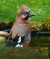 A new hairdo for the jay in my pond. (Idle lass) Tags: jay garden pond