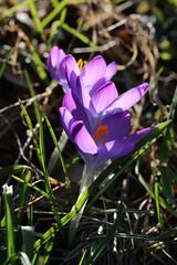 Shining In The Sun (gripspix (OFF)) Tags: 20170318 kirchberg sulz badenwürttemberg germ any deutschland crocus krokus purple violett shining leuchtend backlit gtegenlicht