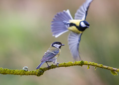 Great Tit Perched with Flyby (Phil Durkin) Tags: nature bird wildlife greattit flyby woodland parus major