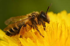 Andrena flavipes, female (henk.wallays) Tags:
