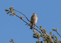 26 03 2017 (cathyk31) Tags: cardueliscannabina commonlinnet fringillidés linottemélodieuse passériformes bird oiseau