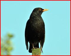 Blackbird (m) (Tom Kennedy1) Tags: turdusmerula blackbird thrushes gardenbirds irishwildlife irishwildbirds