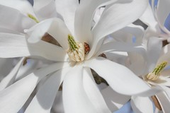 Hiding for the wind? (s.j.greiner) Tags: magnolia flowers beatle outdoor tree