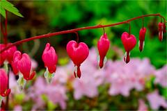 bleeding hearts.......... (atsjebosma) Tags: bleedinghearts gebrokenhartje bloemen flowers colourful kleurrijk garden tuin atsjebosma groningen thenetherlands nederland april 2017 macro ngc